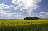 菜の花畑の上の青い空 — ストック写真
