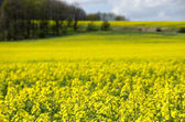 Blue sky over the rape field — Stockfoto