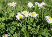 field of daisy flowers — Photo