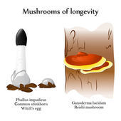 Vector mushrooms of longevity — Stock Vector
