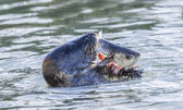 Grey seal (Halichoerus grypus) eating a fish — Stock Photo