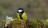Great Tit singing (Parus major)  — Stock Photo