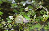 European tree frog croaking (Hyla arborea) — Stockfoto
