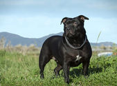 English staffordshire bull terrier. — Stock Photo
