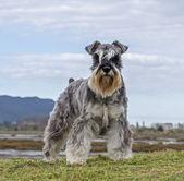 Salt and pepper Schnauzer terrier — Stock Photo