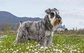 Salt and pepper Schnauzer terrier — Stockfoto