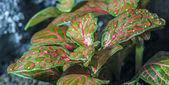 Mosaic plant (Fittonia) — Stock Photo