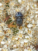 Bluebottle fly (Calliphora vomitoria) on Fotinia fraseri — Stock Photo