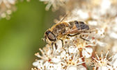 Drone fly (Eristalis tenax) on Photinia fraseri — Stock Photo
