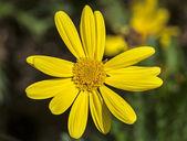 Euryops pectinatus. Yellow flower — Stock Photo