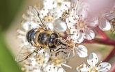 Drone fly (Eristalis tenax) on Photinia fraseri — Stock Photo