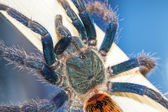 Spyder (Chromatopelma cyaneopubescens). True colors. — Stock Photo