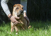 Taking care of a young shar-pei. — Stock Photo