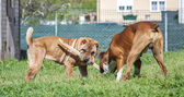 Shar-pei and boxer fighting for a stick. — Stock Photo
