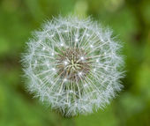 Seeds of common dandelion (Taraxacum officinale). — Stock Photo