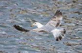 Two years yellow-legged Gull (Larus michahellis) flying over wat — Stock Photo