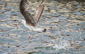First year yellow-legged Gull (Larus michahellis) fishing. — Stock Photo
