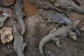 Crocodile breeding farm — Stock Photo