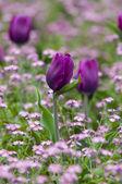 Piękny tulipan w ogrodzie — Zdjęcie stockowe
