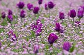 Bellissimo tulipano in giardino — Foto Stock