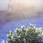Buxus plant winter frost background — Stock Photo