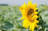 Sunflower in a field — Stockfoto