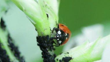Ladybird and Aphids - Marienkäfer mit Blattläusen — Video Stock