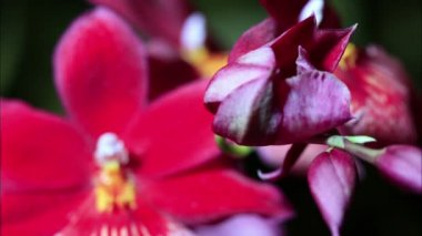 Red Orchid Timelapse — Stock Video