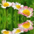 Daisy flower close-up — Stockfoto