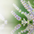 Lavender Aromatherapy Plant Reflection — Stock Photo #42324501