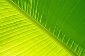 Banana Palm Leaf — Stock Photo