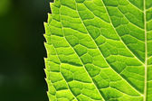 Green Spring Leaf — Stock Photo