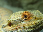 Pogona Vitticeps — Photo
