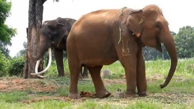 Thai elephent — Stockvideo