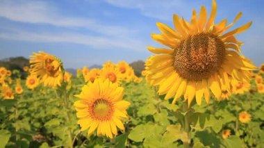 Schöne sonnenblumen-feld — Stockvideo