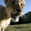 Lion Cub Closeup — Stock Photo #42543257