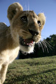 Lion Cub Closeup — Stock Photo