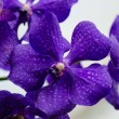 Dark purple orchid blossom close up with blured light blue — Stock Photo #43769479