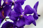 Dark purple orchid blossom close up with blured light blue — Stock Photo