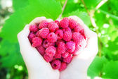 Raspberry in palms — Stock Photo