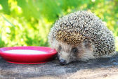 Hedgehog on a stump in the garden drinking milk from a saucer. — Stock Photo