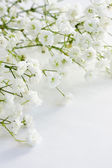 Gypsophila — Stock Photo