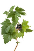 Black currants (Ribes nigrum) on branch — Stock Photo