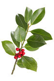 Holly leaves and berries — Stock Photo