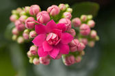 Kalanchoe house plant — Stock Photo