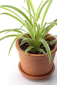 Dracaena house plant — Stock Photo