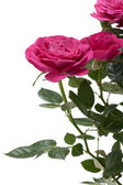 Miniature Rose house plant — Stock Photo