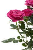 Miniature Rose house plant — Stock Photo