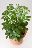 Schefflera house plant — Stock Photo