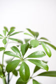 Schefflera house plant — Stock Photo